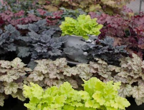 Hurra for Heuchera